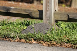 Large fire ant mount hiding under a fence post in Florida, USA.