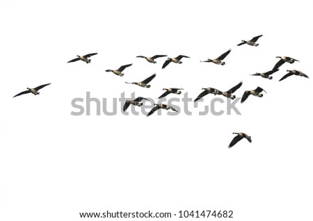 Large Flock of Canada Geese Flying on a White Background #1041474682
