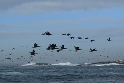 large flock of Cape cormorants or Cape shags, Phalacrocorax capensis, flying over Seal Island in False Bay, South Africa, Atlantic Ocean