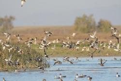 Large flock of ducks flying low over water surface with reeds