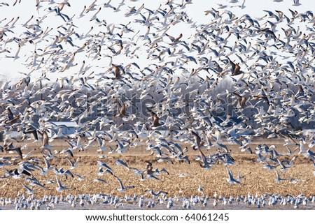 Large Flock of Seagulls takes Flight