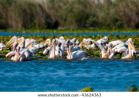 Large Flock of White Pelicans on water
