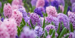 Large flower bed with multi-colored hyacinths, traditional easter flowers, flower easter background