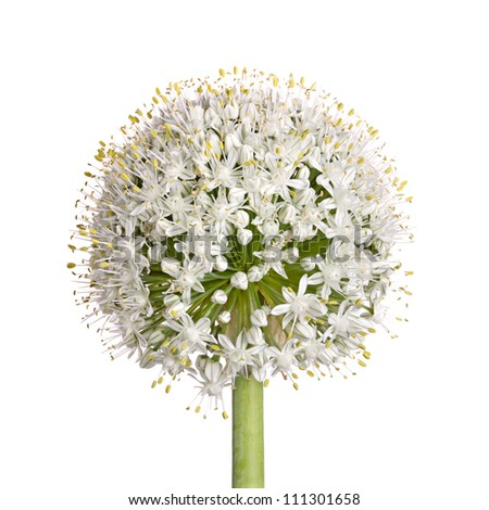 Large flower head of the edible onion (Allium cepa) isolated against a white background