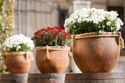 Large flower pots with white and burgundy chrysanthemums. Vases with flowers stand on wooden barrels. Sale of flowers