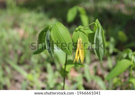Large-flowered bellwort in bright sun at Harms Woods in Skokie, Illinois Zdjęcia stock ©