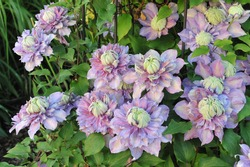 Large-flowered double clematis Diamantina selected by the British breeder Raymond Evison blooms in a garden in May 2014