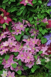 Large-flowered pink Clematis Abilene selected by the British breeder Raymond Evison blooms on an exhibition in May 2014