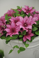 Large-flowered pink Clematis Elodi, selected by the British breeder Raymond Evison, blooms in a white pot on an exhibition in May 2019