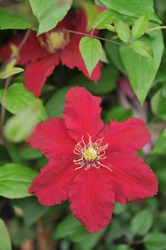 Large-flowered purplish-red Clematis Alita selected by the British breeder Raymond Evison blooms on an exhibition in May 2016