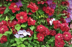 Large-flowered semi-double dark purple-red Clematis Charmaine selected by the British breeder Raymond Evison blooms on an exhibition in May 2019