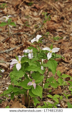 Large-Flowered Trillium (T. grandiflorum). Growing here in this forested area of the Great Smoky Mountains National Park, NC/TN, USA  Stock fotó ©