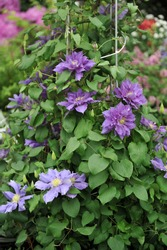 Large-flowered violet double clematis Chevalier  selected by the British breeder Raymond Evison blooms on an exhibition in May 2015