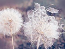 Large fluffy dandelion balls close-up. Art photo. natural background of the garden.