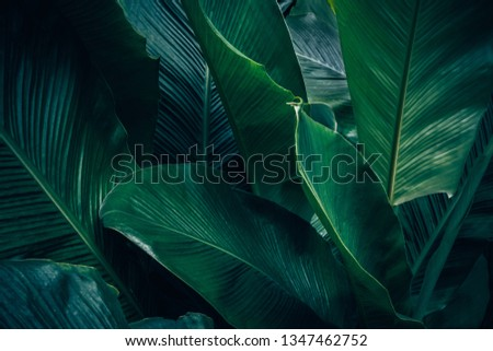 Large foliage of tropical leaf with dark green texture, abstract nature background. #1347462752