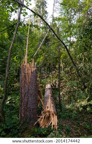 Large forest tree snapped in half after massive storm. Large splinters, summer daytime, no people. Europe. Stock photo ©