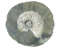 large fossil of an extinct mollusc ammonite within a cracked concretion isolated on white background
