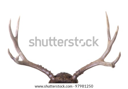 Large four point mule deer antlers isolated on white background