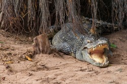 Large freshwater crocodile Lying in the trees.