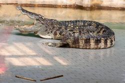 Large freshwater crocodile Sunbathing by the pool.