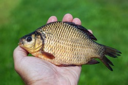 Large freshwater fish crucian in the hand