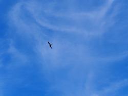 Large frigate bird flying against a slightly clouded sky in Ecuador