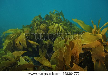 Large fronds of brown stalked kelp Ecklonia radiata moving with water movements.