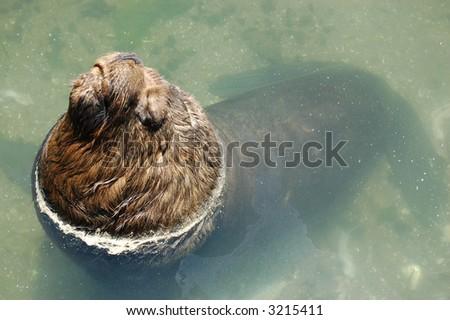 Large Fur Seal