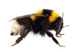 Large garden bumblebee isolated on white background, Bombus ruderatus