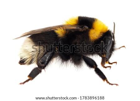 Large garden bumblebee isolated on white background, Bombus ruderatus Stock photo ©
