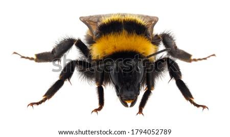 Photo of  Large garden bumblebee isolated on white background, Bombus ruderatus