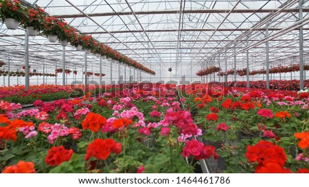 Large glass greenhouse with flowers. Growing flowers in greenhouses. Interior of a modern flower greenhouse. Flowers in flowerpots. Stock photo ©