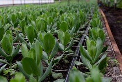 Large glasshouse horticultural industry with nearly flowering Lisianthus plants for the cultivation of cut flowers.