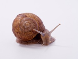 large grape snail on a white background