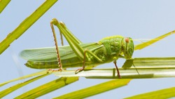 Large grasshopper from the side, eating grass