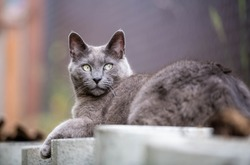 Large Gray Cat Relaxing Outside