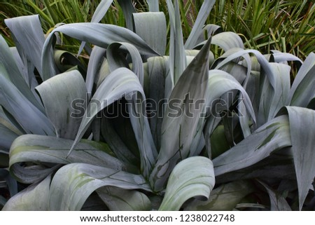 Large gray succulent plant with wide blade shaped leathery leaves.