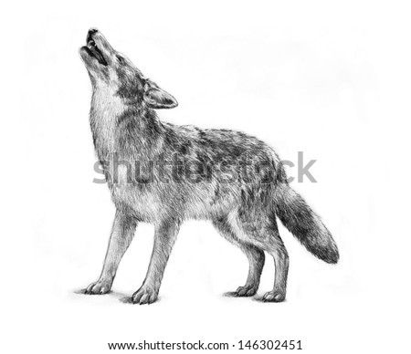 large gray timber wolf drawing illustration, howling gray wolf halloween image, proud strong concept powerful dangerous animal, wolf graphic art design, wolf isolated white background, nature wildlife