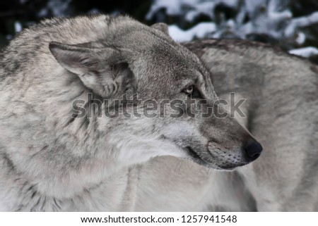 Large gray wolf in the snow. wolf in half a turn close up, head and body large, sharp muzzle, background picture.