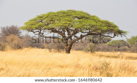 large green acacia tree isolated in a yellow field on the African Savannah in Zimbabwe ストックフォト ©