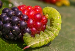 Large green caterpillar with berries on a leaf. Fragment of an insect. Blackberries and raspberries. Macro photo. The caterpillar is crawling. Fragment of a green leaf. Close-up. Bokeh