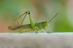 Large green grasshopper stretching its legs with small black ant walking against blurred background
