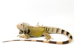 Large Green Iguana isolated on a white background