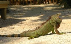 Large green iguana yawning in sunshine