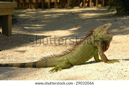 Large green iguana yawning in sunshine