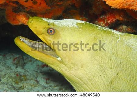 Large Green Moray Eel from dive in Kona, Hawaii - stock photo