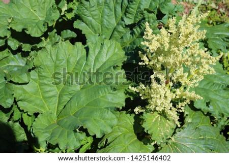 large green rhubarb leaves and a rhubarb flower