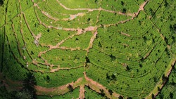 Large Green Tea Plantations Looking Like Lungs From Drone With No People Between Ella and Haputale in Sri Lanka