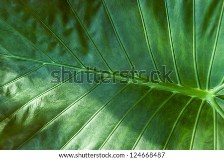 Large green tropical jungle leaf