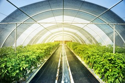 Large greenhouse farming for organic vegetable and fruits. Green farm is popular in food industry production. Hangar use for protect insect and good for environment.